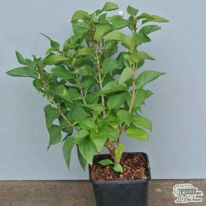 Buy Syringa vulgaris Katherine Havemeyer (Common Lilac) online from Jacksons Nurseries