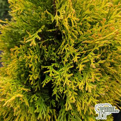 Buy Thuja occidentalis 'Holmstrup Yellow' online from Jacksons Nurseries