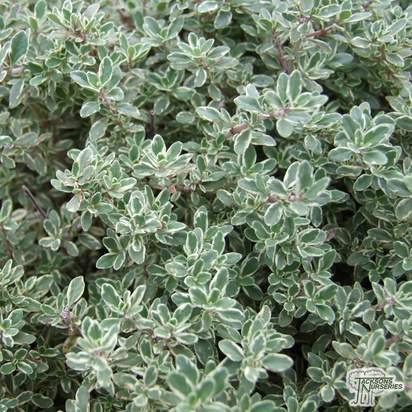 Buy Thyme - Thymus vulgaris Silver Queen online from Jacksons Nurseries.