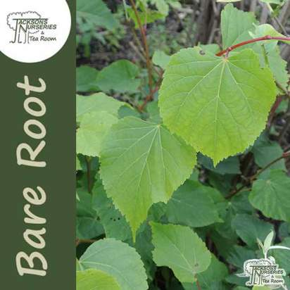Buy Tilia Cordata online from Jacksons Nurseries