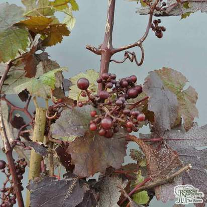 Buy Vitis vinifera Purpurea online from Jacksons Nurseries