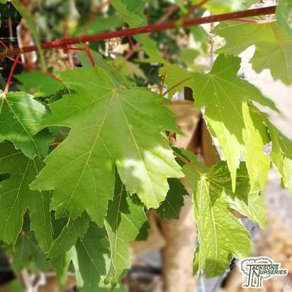 Buy Acer x freemanii (Freeman Maple) online from Jacksons Nurseries