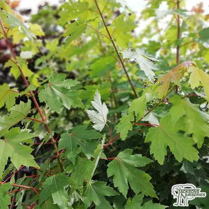Buy Acer x freemanii 'Autumn Blaze' (Freeman Maple) online from Jacksons Nurseries