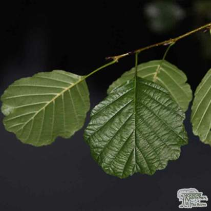 Buy Alnus glutinosa Bare Root online from Jacksons Nurseries
