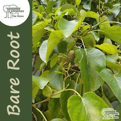 Buy Alnus incana Bare Root from £0.68 each at Jacksons Nurseries