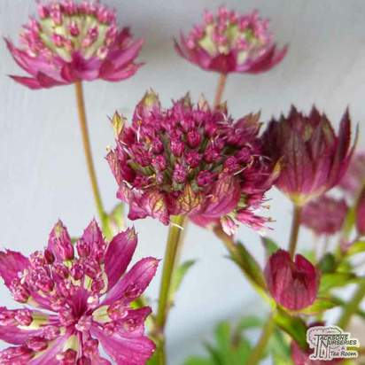 Buy Astrantia 'Moulin Rouge' (Masterwort) online from Jacksons Nurseries