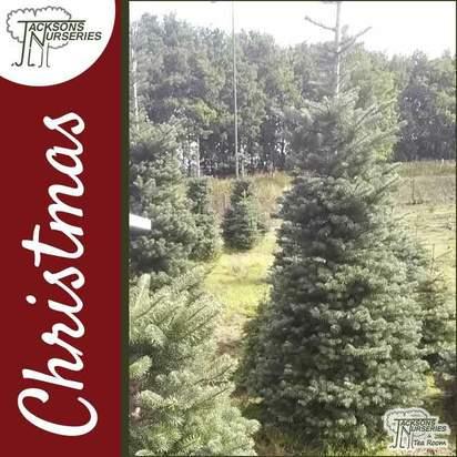 Buy Korean Real Blauer Pfiff Fir Christmas Trees Online