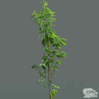 Buy Nectarine - Prunus persica var nectarina 'Lord Napier' online from Jacksons Nurseries