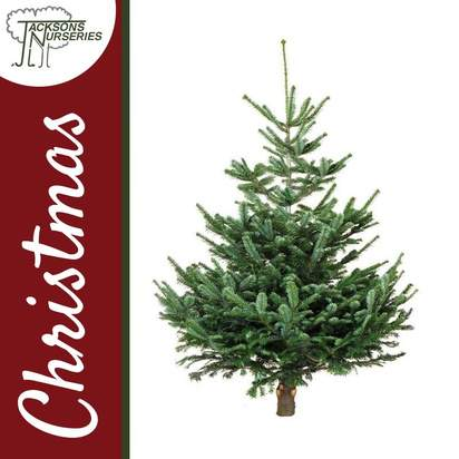 Buy Real Nordmann Fir Christmas Trees Online