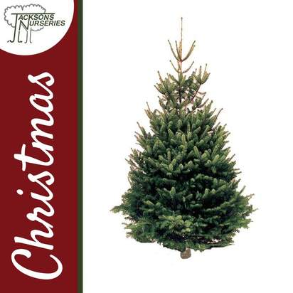 Buy Real Traditional Norway Spruce Christmas Trees Online