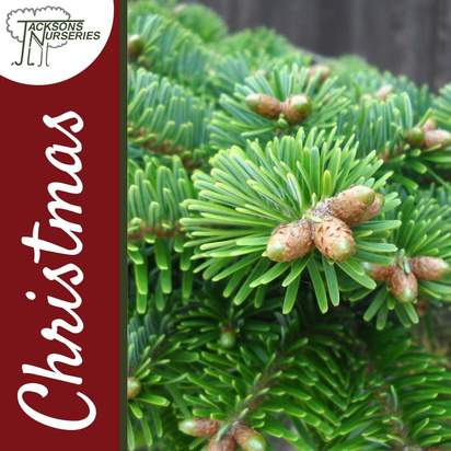 Buy Real Nordmann Fir Christmas Trees Online
