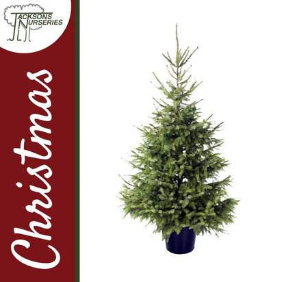 Buy Real Serbian Spruce Christmas Trees Online