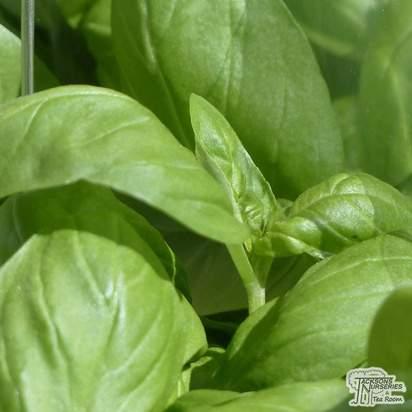 Buy Sweet Basil (Ocimum basilicum) online from Jacksons Nurseries