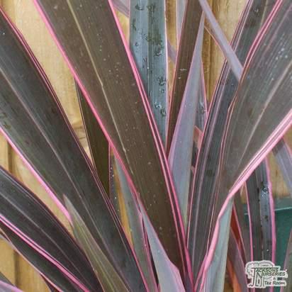 Buy Phormium Pink Stripe (New Zealand Flax) online from Jacksons Nurseries
