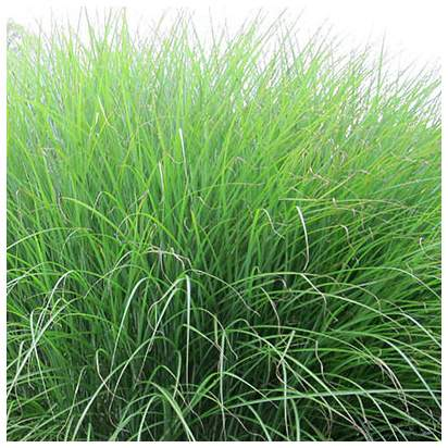 Buy Miscanthus sinensis Gracillimus  (Chinese silver grass) online from Jacksons Nurseries