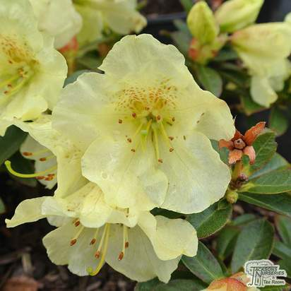 Buy Rhododendron 'Curlew' online from Jacksons Nurseries.