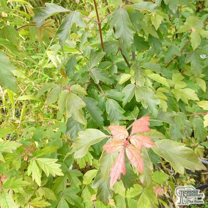 Buy Acer griseum (Paper Bark Maple) online from Jacksons Nurseries