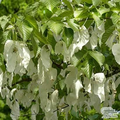 Buy Davidia involucrata Dove Tree online from Jacksons Nurseries