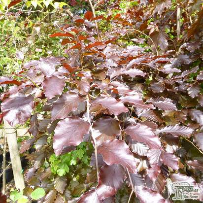 Buy Fagus sylvatica Atropurpurea Group (Tree) (Purple European Beech) online from Jacksons Nurseries