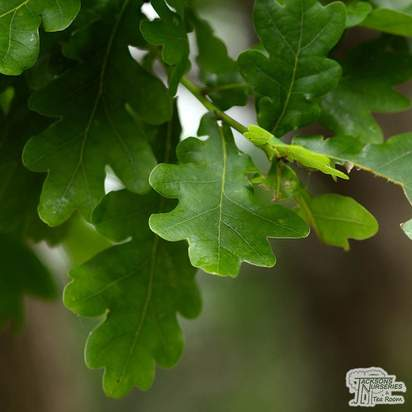 Buy Quercus robur (Common Oak) online from Jacksons Nurseries