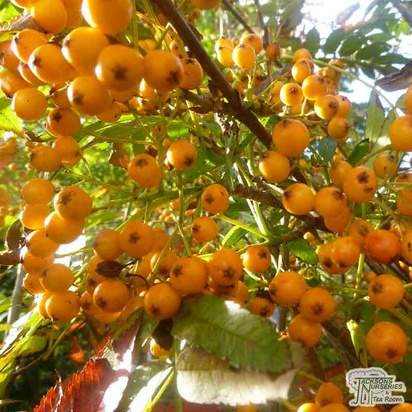 Buy Sorbus aucuparia 'Sunshine' (Moutain Ash) online from Jacksons Nurseries