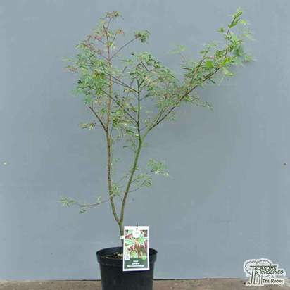 Buy Acer palmatum Beni Shichihenge online from Jacksons Nurseries