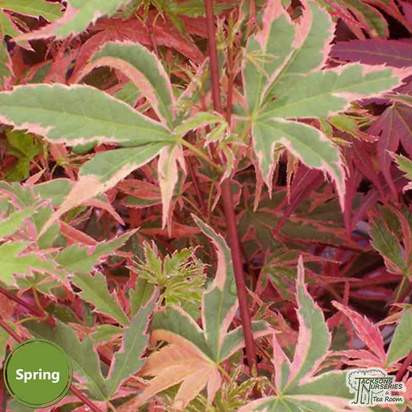 Buy Acer palmatum Beni Shichihenge online from Jacksons Nurseries