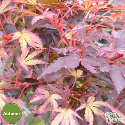 Buy Acer palmatum Shaina (Japanese Maple) online from Jacksons Nurseries