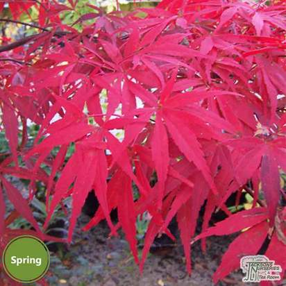 Buy Acer palmatum Shaina (Japanese Maple) online from Jacksons Nurseries