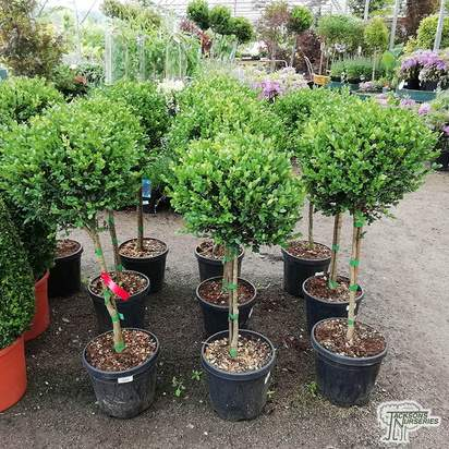 Buy Buxus sempervirens Lollipop (Small-leaved Box) online from Jacksons Nurseries