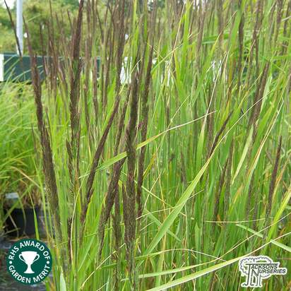 Buy Calamagrostis x acutiflora 'Karl Foerster' (Feather Reed Grass) online from Jacksons Nurseries.