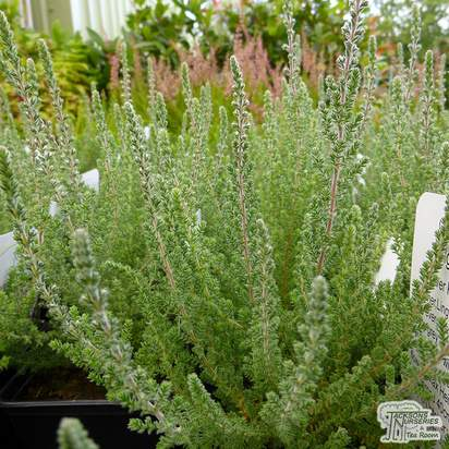 Buy Calluna vulgaris Silver Knight (Scots Heather) online from Jacksons Nurseries