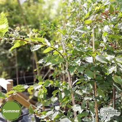 Buy Carpinus betulus 'Rockhampton Red' online from Jacksons Nurseries.