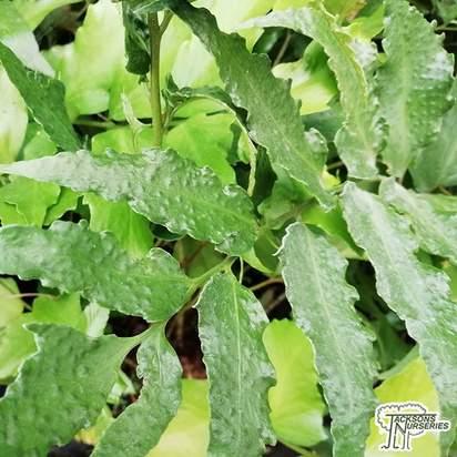 Buy Cyrtomium devexiscapulae online from Jacksons Nurseries