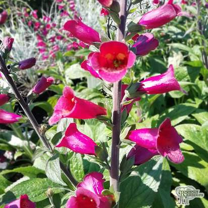 Buy Digitalis 'Foxlight Plum Gold' (Foxgloves) online from Jacksons Nurseries.