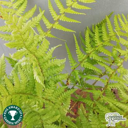 Buy Dryopteris affinis (Golden Shield Fern) online from Jacksons Nurseries