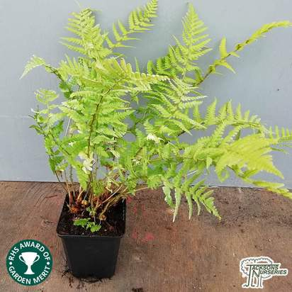 Buy Dryopteris affinis (Golden Sheild Fern) online from Jacksons Nurseries