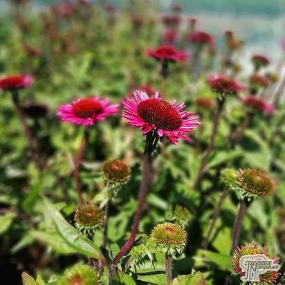 Buy Echinacea purpurea 'Vintage Wine' (Coneflower) online from Jacksons Nurseries.