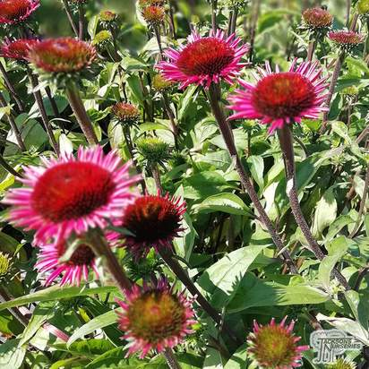 Buy Echinacea purpurea 'Vintage Wine' (Coneflower) online from Jacksons Nurseries.