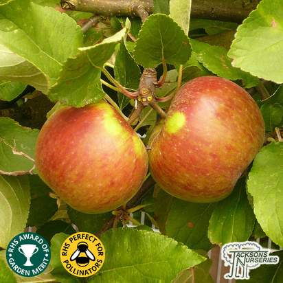 Buy Apple - Malus domestica Bramley Seedling online from Jacksons Nurseries