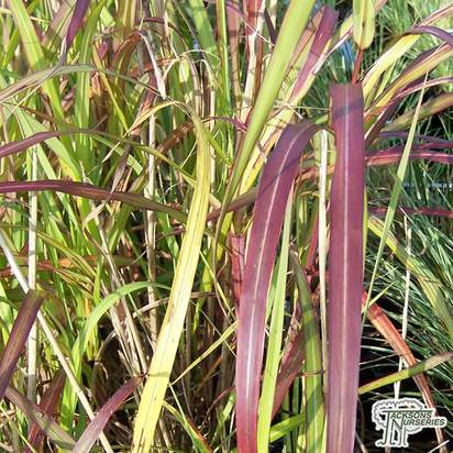 Buy Miscanthus 'Purpurascens' (Chinese silver grass) online from Jacksons Nurseries