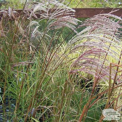 Buy Miscanthus sinensis Rotsilber at Jacksons Nurseries