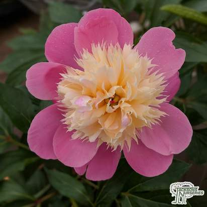 Buy Paeonia lactiflora Bowl of Beauty (Peony) online from Jacksons Nurseries