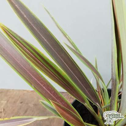 Buy Phormium 'Chocomint' (New Zealand Flax) online from Jacksons Nurseries.