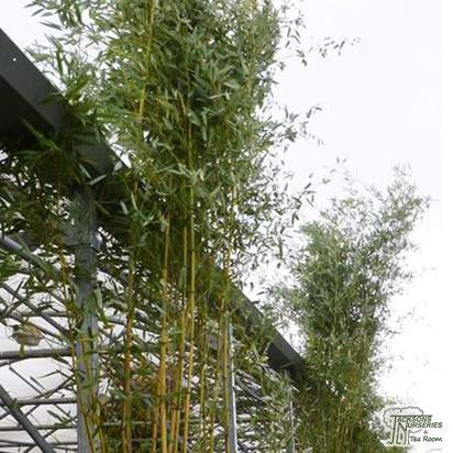 Buy Showy Yellow Groove Bamboo online from Jacksons Nurseries