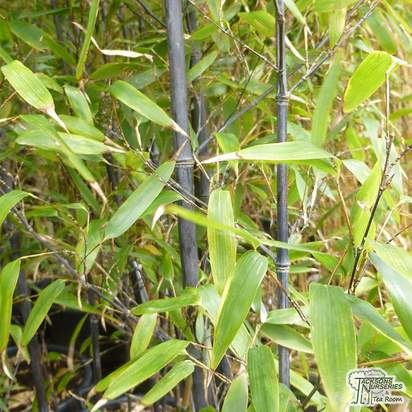 Buy Phyllostachys nigra online from Jacksons Nurseries