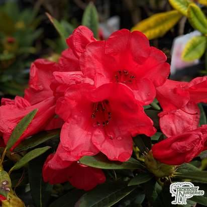 Buy Rhododendron 'Elizabeth'
