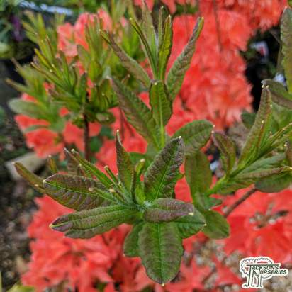 Buy Rhododendron azalea 'Kosters Brilliant Red' in the UK