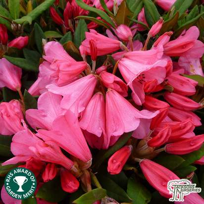 Buy Rhododendron 'Winsome' online from Jacksons Nurseries.