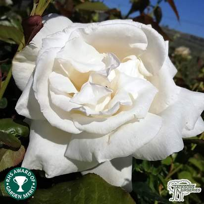 Buy Rosa Silver Anniversary (Celebration Hybrid Tea Rose) online from Jacksons Nurseries